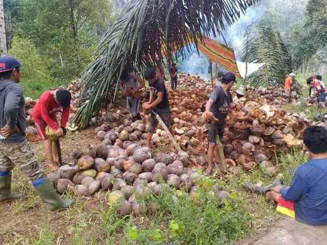 Upaya Petani Di Saat Kopra Murah